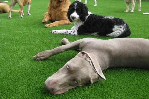Synthetic Turf International SoftLawn Pet Turf Dogs K9