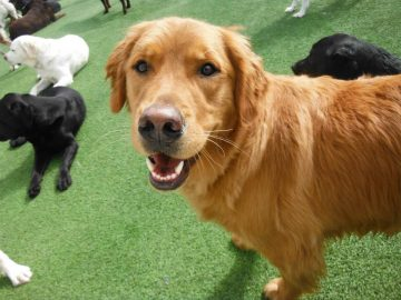 Artificial Grass for Pets | Synthetic Turf International
